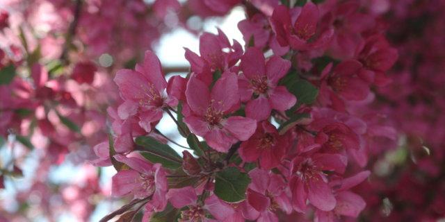 Cherry Tree Photos